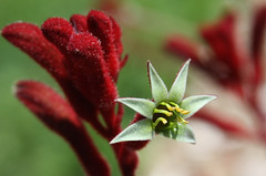 Velvet Red Kangaroo Paw in Bloom (Life_After_Death - Shannon Day) Tags: life red plant flower art crimson yellow canon garden botanical photography eos death star paw pod furry day fuzzy gardening australian australia images velvet shannon kangaroo license bloom getty flowering after dslr botany canondslr canoneos fuzz gettyimages furr kangaroopaw lifeafterdeath kangaroopaws 50d shannonday canoneos50d canon50d canon50ddslr canon50deos canoneos50ddslr canoneod50ddslr canondsler lifeafterdeathstudios lifeafterdeathphotography shannondayphotography shannondaylifeafterdeath