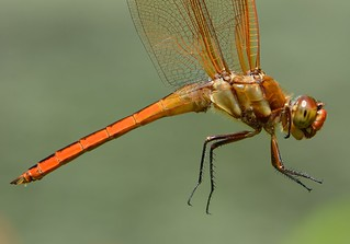 Golden-winged Skimmer From The Side