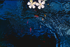 Two Plumeria Flowers in a Rippling Pond and Small Carps