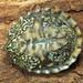 Eastern Musk Turtle, Hatchling