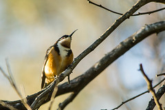 Eastern Spinebill (richman@y7mail.com) Tags: australia newsouthwales warriewood