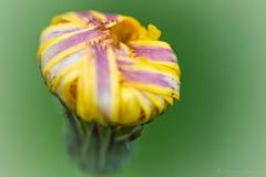 DSC_0010 (sebastienpeguillou) Tags: plant flower macro fleur closeup nikon tamron 90mm flore macrophotography macrophotographie d3200