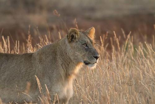 Lion  at sunset_2590