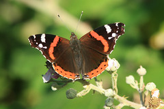 Red Admiral (Vanessa atalanta), by Peter Alfrey