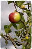 Malus sylvestris 'European Crab Apple' (farmer dodds) Tags: food apple fruit herb crabapple codurham malus rosaceae malussylvestris europeancrabapple