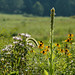 Common mullein with early goldenrod, wild bergamot, and blackeyed Susans in the upper meadow
