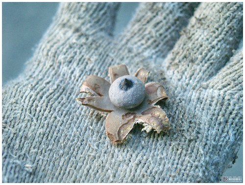 star mushroom