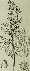 Anglų lietuvių žodynas. Žodis pistachia reiškia pistacijos lietuviškai.