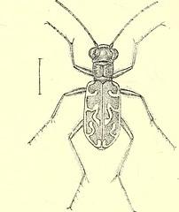 Anglų lietuvių žodynas. Žodis testaceous reiškia a  zool. kiautuotas 2 bot., zool. rausvai rudos spalvos lietuviškai.