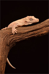 Gargoyle Gecko. (Yvette-) Tags: knowsleysafaripark nikond5100
