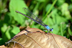 Blue-fronted Dancer (blue female): Argia apicallis (Stan in FL) Tags: park river dragonflies dragonfly great insects falls national va potomac damselflies damsel odonata