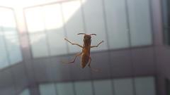 في الغالب اقتل الدبابير ولكنه نجا من ضربتي وجلس خلف الزجاج يستفزني -_- (ihibo) Tags: macro insect fly flyer zoom bee حشرة طبيعة حياة طائر تقريب حشرات دبور زووم