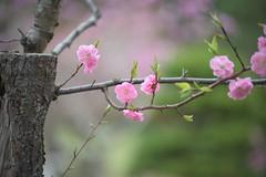 plum blossom 11 (babykins.) Tags: flower ume plumblossom d600 kosetsuen 456dg70300mm