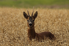 Roe Deer (Chris B@rlow) Tags: deer northumberland mammals roedeer gosforth capreoluscapreolus ukmammal