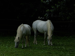WHITE HORSE (PROFIX06) Tags: horse white france nature beautiful animal cheval freedom brother beau l