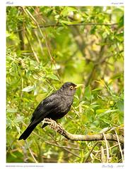Petits passereaux (BerColly) Tags: trees france birds arbres turdusmerula merle auvergne oiseaux puydedome
