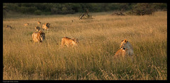 Pride on the move (Ania Dembny) Tags: africa morning light animals canon early wildlife lion lions lioncubs canon5dmkii aniajones lionessinlonggrass copyright2014aniajones copyright2013aniajones copyright2012aniajones aniadembny aniadembnylrps