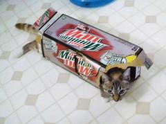 Fun times in a soda pop carton! (ok2la) Tags: rescue point siamese misha lynx lynxpoint