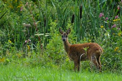 Ree (Harm Hoitink) Tags: zoogdieren