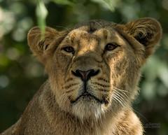 Lioness (Gjesdal.org) Tags: england london zoo nikon lion londonzoo pantheraleo d7100 sigma150500mmf563apodgoshsm topazdetail topazremask topazclarity