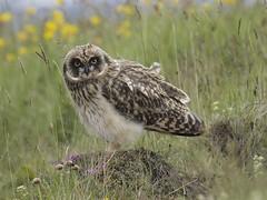 Short-eared Owl 33 (brandugla) (Svenni and his Icelandic birds.) Tags: shortearedowl asioflammeus brandugla