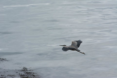 Great Blue Heron (Ardea herodias ) (JPM Lamontagne) Tags: nature birds wildlife newbrunswick fundy greatblueheron birdwatcher 2014 ardeaherodias campobelloisland backyardbirds jpmlamontagne