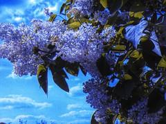 letzter Sommergru (misty gardener) Tags: sommer nikoncoolpix5700 flieder falschfarben