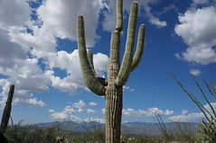 The Hazboy chillin' with the cactus at Saguaro National Park (the day version) (Hazboy) Tags: park vacation arizona cactus usa southwest west america us tucson september national western saguaro parc 2014 hazboy hazboy1 dswt