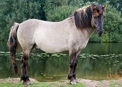 P8260275 (Dick DB) Tags: horses horse holland animal alice olympus wonderland denbosch omd paarden em1 konik koninkspaarden omdem1 diezemonde dickbesse
