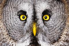 Flickr whoooo (Stickyemu) Tags: bird yellow closeup eyes nikon wildlife feather greatgreyowl owl birdofprey topaz d7100 topazdetail3 tamron70300mmvc lightroom5