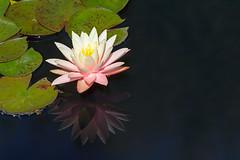 Water Lily Reflection (Matt Thalman - Valley Man Photography) Tags: pink flower macro reflection water closeup garden colorado waterlily denver single nymphaea denverbotanicgardens