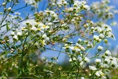 White Flowers (TalesOfAldebaran) Tags: blue sky green yellow canon rebel 50mm is meadow best 1855mm stm 1855 danilo whiteflowers aldebaran stefanovic stefanović 700d t5i talesofaldebaran