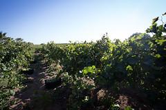 In the middle of the vineyard (MarcoDeBartoli) Tags: vineyard harvest sicily sicilia winemaking vendemmia marsala grillo vigneto vinisiciliani samperi vinificazione naturalwines vininaturali marcodebartoli harvest2014 sicilianwines vendemmia2014