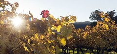 Light Through the Leaves (All About Light!) Tags: morninglight vineyard napavalley