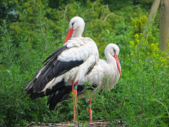 IMG_5907 Dutch stork couple (pinktigger) Tags: holland bird nature netherlands dutch nederland stork cegonha cigea avifauna storch cigogne ooievaar cicogna alfen