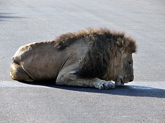 DSC09246 (Arno Meintjes Wildlife) Tags: africa nature southafrica wildlife lion safari bigcat predator krugerpark arnomeintjes