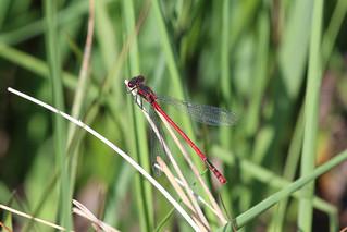 IMG_5524 Large Red Damselfly