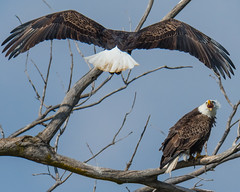 Mine... (ragtops2000) Tags: eagle bald mature two tree territorial angry mad upset invaded exciting loud food fish migrating passingthrough headednorth iowa lakemanawa raptor wild nature tamron150600g2 nikond500