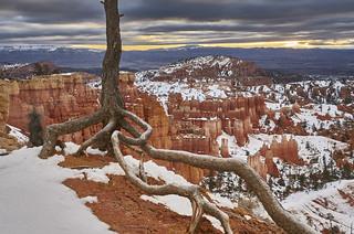 Tree at Bryce Canyon at sunrise