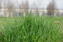 Rugiada sull'erba di fine marzo (marcoilgela) Tags: parco oarco torino giccie acqua campo erba rugiada