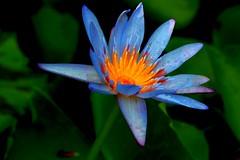 Blue (Rajavelu1) Tags: flowers blue pink macro macrophotograph plant nature beautyofnature art artwork artland creative canon60d canonef100mmf28macroisusmlens simplysuperb