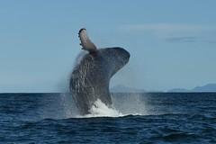 Aussi légère qu'une baleine / As light as a whale (bonnaudthomas) Tags: baleine whale mer sea républiquedominicaine dominicanrepublic republicadominicana