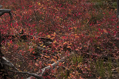 "Huckleberry fall colors • <a style=""font-size:0.8em;"" href=""http://www.flickr.com/photos/63501323@N07/33092796795/"" target=""_blank"">View on Flickr</a>"