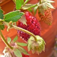 July 2013 (Shutterbuglette) Tags: bud berry berries red fruit strawberries patio planter patiogarden summer gardening homegrown
