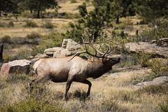 IMG_5278 (Cris_Pliego) Tags: estespark nationalpark colorado denver usa nature mountains starrynight bear overlookhotel lake forest elk bluesky