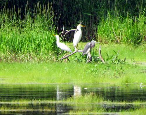 32 Black crowded heron ane egrets Harkers Island NC 9803