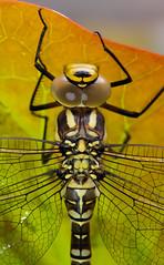 Grote Keizerlibel (Anax imperator) (B.B. Wijdieks) Tags: macro ex nature netherlands closeup insect nikon dragonfly natuur sigma insects micro 28 bb dg drenthe insecten grote imperator 2011 150mm keizerlibel anax d700 wijdieks