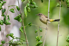 "Hanging Around (WilliamMercerPhotography) Tags: wild bird nature animal pine outdoors photography nikon wildlife small sigma william mercer corkscrew warbler hangingaround corkscrewswamp ""nikon pinewarblerdendroicapinus d3s"" ""wildlifephotography"" southernhobbyist"