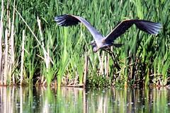 Great Blue Heron (Moschell) Tags: heron nature birds spring wildlife indiana local greatblueheron fallcreek 2014 moschell geistpark tamron150600