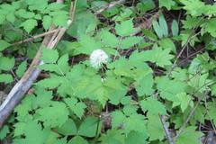 Actaea rubra (Thomas R. Belfield) Tags: flora botany actaearubra eastcascades